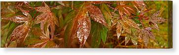 Close-up Of Raindrop On Maple Leaves Canvas Print by Panoramic Images