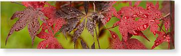 Close-up Of Raindrops On Japanese Maple Canvas Print by Panoramic Images