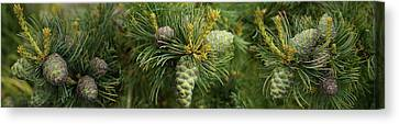 Close-up Of Raw Pine Cones Growing Canvas Print