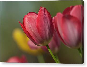 Close-up Of Red And Yellow Tulips Canvas Print by Rona Schwarz
