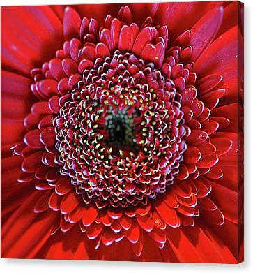 Flowers Gerbera Canvas Print - Close-up Of Red Daisy by Anna Miller