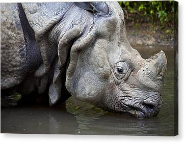 Close Up Of Rhino Drinking Rhinoceros Unicornis Canvas Print by Gino De Graaf