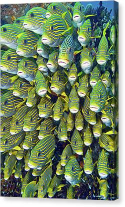 Schooling Canvas Print - Close-up Of Schooling Sweetlip Fish by Jaynes Gallery