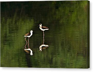 Close-up Of Two Black-winged Stilts Canvas Print by Panoramic Images