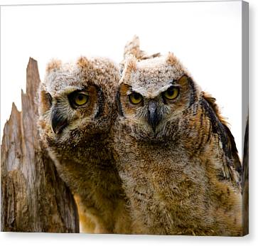 Close-up Of Two Great Horned Owlets Canvas Print