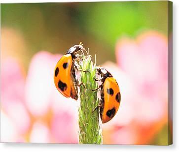 Close Up Of Two Ladybugs Canvas Print by Panoramic Images
