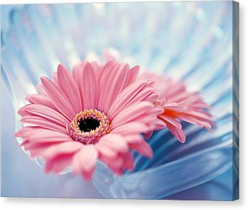 Flowers Gerbera Canvas Print - Close Up Of Two Pink Gerbera Daisies by Panoramic Images
