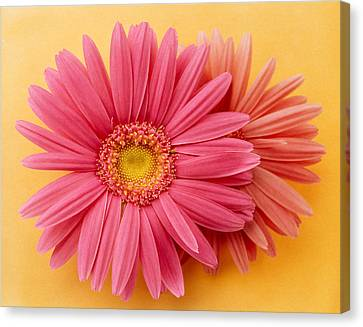 Close Up Of Two Pink Zinnias On Yellow Canvas Print by Panoramic Images