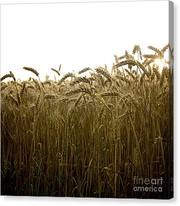 Close-up Of Wheat Ears. Canvas Print