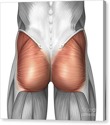 Close-up View Of Human Gluteal Muscles Canvas Print by Stocktrek Images