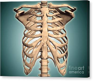 Close-up View Of Human Rib Cage Canvas Print by Stocktrek Images