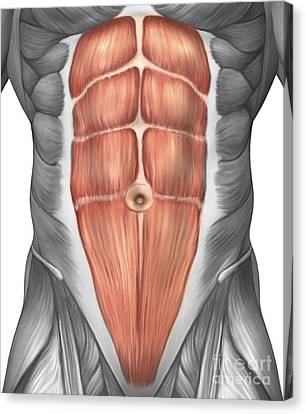 Close-up View Of Male Abdominal Muscles Canvas Print by Stocktrek Images