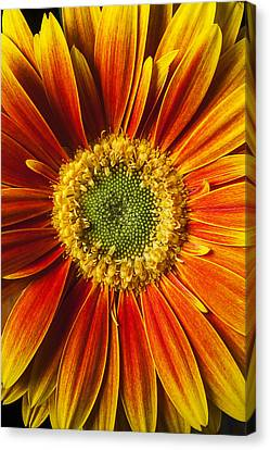 Close Up Yellow Orange Mum Canvas Print by Garry Gay