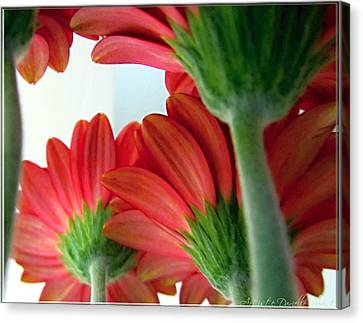Close View From Under The Red Daisies Canvas Print by Danielle  Parent