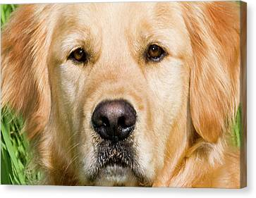 Close View Of Head Golden Retriever Canvas Print
