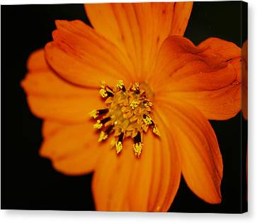 Closeup Cosmos Canvas Print by Monica Veraguth