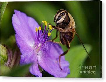 Closeup Of A Bee On A Purple Flower Canvas Print