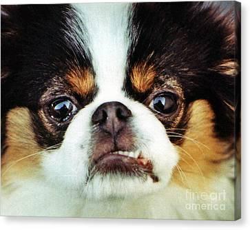 Closeup Of A Japanese Chin Dog Canvas Print by Jim Fitzpatrick