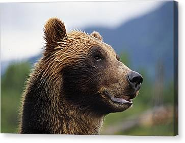 Closeup Of Brown Bears Head And Face Canvas Print by Doug Lindstrand