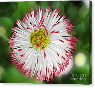 Closeup Of White And Pink Habenera English Daisy Flower Canvas Print by Valerie Garner