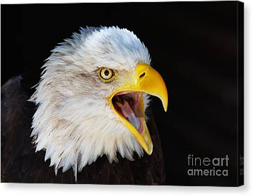 Closeup Portrait Of A Screaming American Bald Eagle Canvas Print by Nick  Biemans