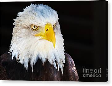 Canvas Print featuring the photograph Closeup Portrait Of An American Bald Eagle by Nick  Biemans