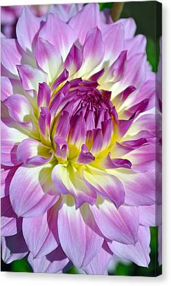 Closeup Who Dun It Dahlia Flower Canvas Print by Thomas J Rhodes