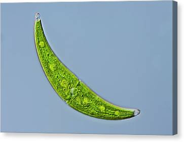 Closterium Sp. Green Alga Canvas Print by Gerd Guenther