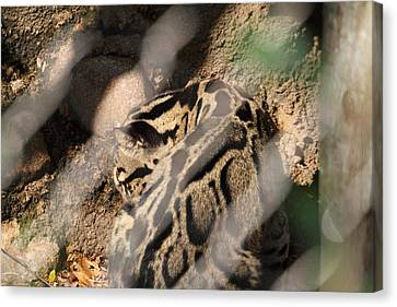 Leopard Canvas Print - Clouded Leopard - National Zoo - 01132 by DC Photographer