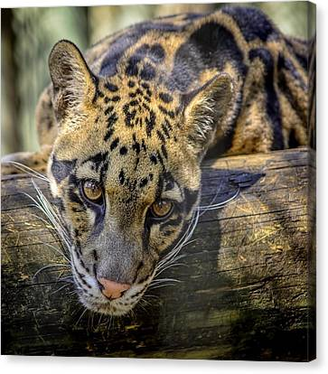 Canvas Print featuring the photograph Clouded Leopard by Steven Sparks
