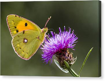 Clouded Yellow Butterfly Feeding Canvas Print by Alex Huizinga