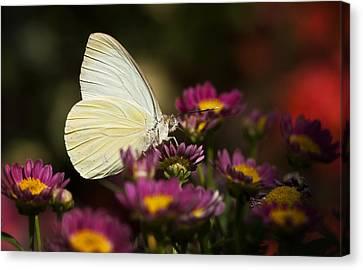 Cloudless Sulphur Butterfly  Canvas Print by Saija  Lehtonen