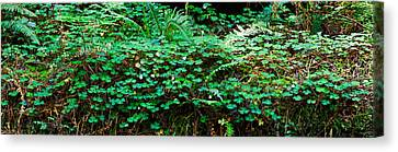 Tree Fern Canvas Print - Clover And Ferns On Downed Redwood by Panoramic Images