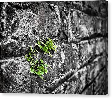 Clover On The Wall Canvas Print