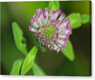 Clover Canvas Print by Tracy Male