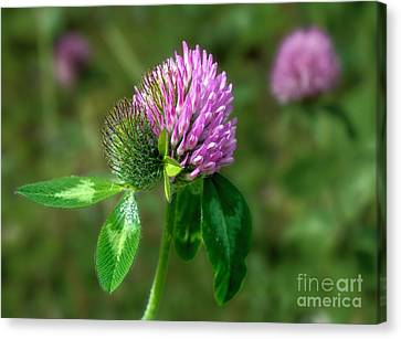 Clover - Wildflower Canvas Print