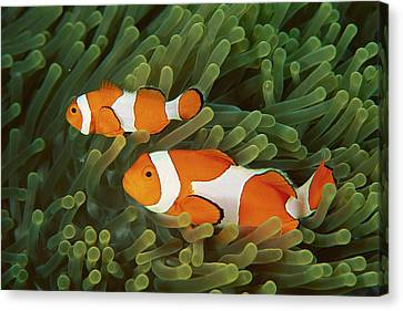 Clown Anemonefish Amphiprion Ocellaris Canvas Print by Mark Spencer