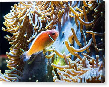 Clown Fish - Anemonefish Swimming Along A Large Anemone Amphiprion Canvas Print by Jamie Pham