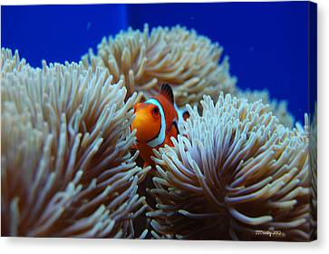 Clown Fish In Sea Anemone Canvas Print