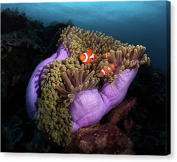 Clown Fish With Magnificent Anemone Canvas Print by Marco Fierli