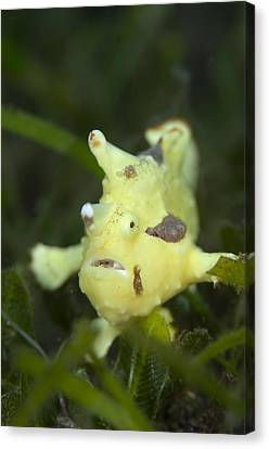 Clown Frogfish In Seagrass Canvas Print by Science Photo Library