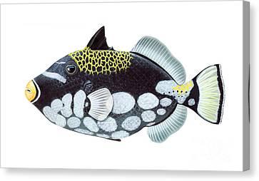 Clown Triggerfish Balistoides Canvas Print by Carlyn Iverson