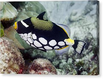 Clown Triggerfish Canvas Print by Science Photo Library