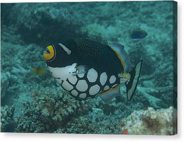 Clown Triggerfish Swimming In Fiji Canvas Print by Terry Moore