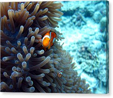 Clownfish Borneo Canvas Print by Laura Hiesinger