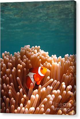 Clownfish In Coral Garden Canvas Print by Fototrav Print