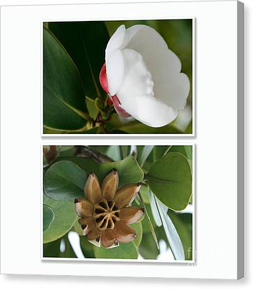 Clusia Rosea - Clusia Major - Autograph Tree - Maui Hawaii Canvas Print by Sharon Mau