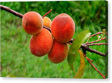 Cluster Of Peaches 1 Canvas Print