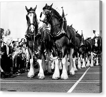 Clydesdale Horses Vintage Canvas Print by Retro Images Archive