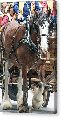 Canvas Print featuring the photograph Clydesdale On Parade  by Dawn Romine